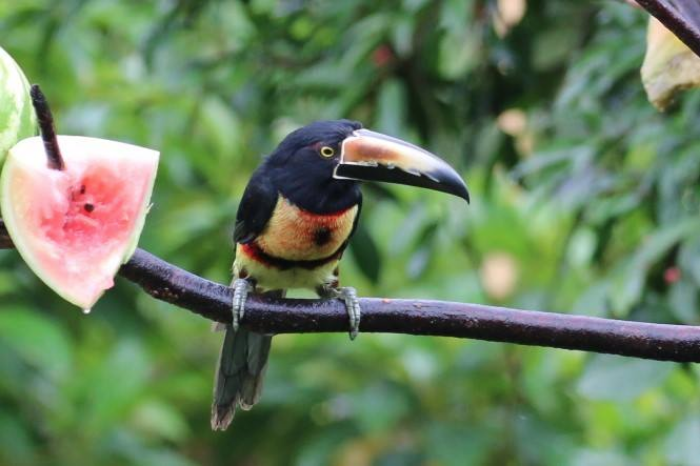 Collared         Aracari at the Arenal Observatory feeder.