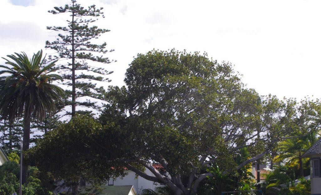 The Heritage Trees of Coronado