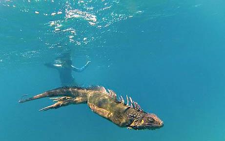coiba swimming iguana