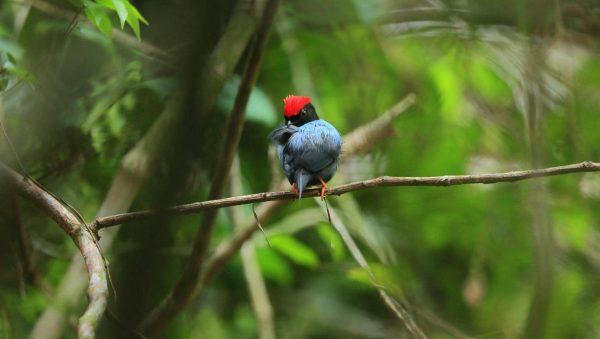 coiba birds