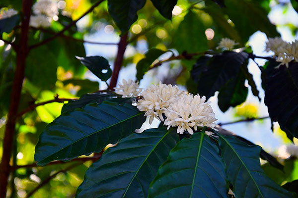 flowering coffe buds