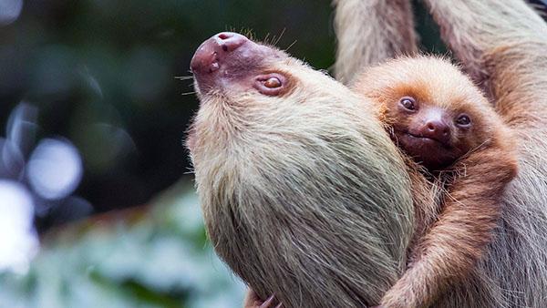 Panama has sloths too