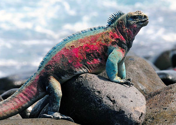 🇪🇨 DESTINATION GALAPAGOS, ECUADOR MUST SEE - SWIMMING GALAPAGOS IGUANA