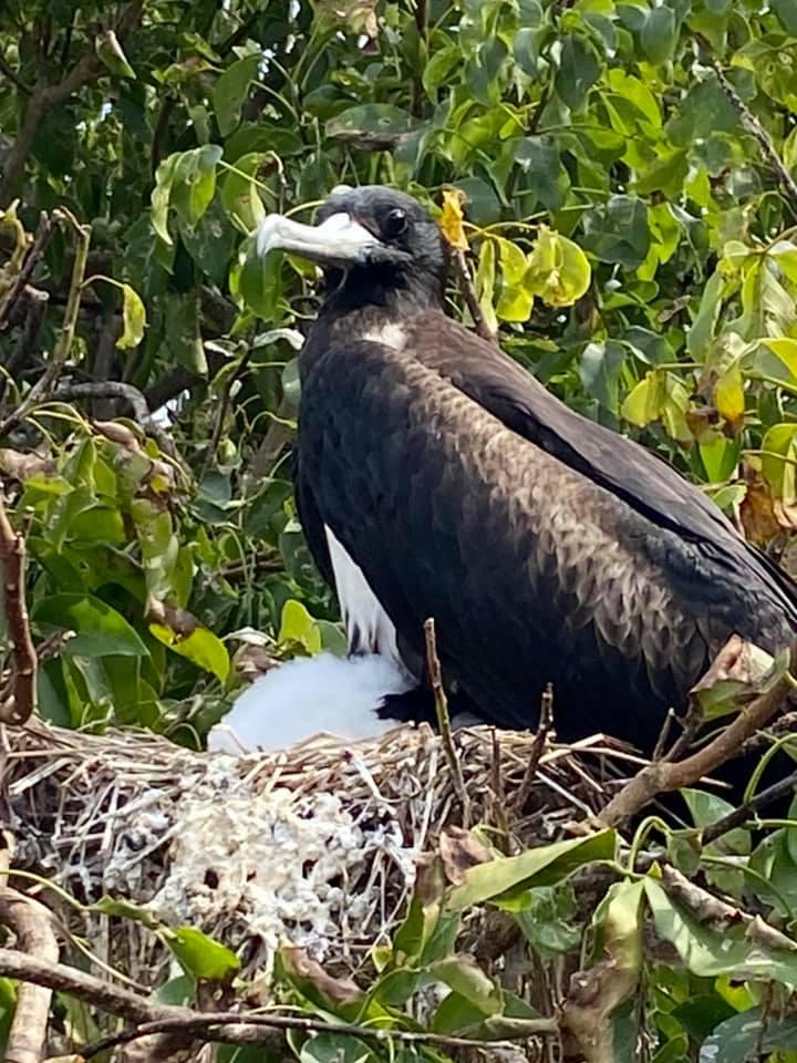 ISLA ISABELLA, MX Frigate Birds Nesting