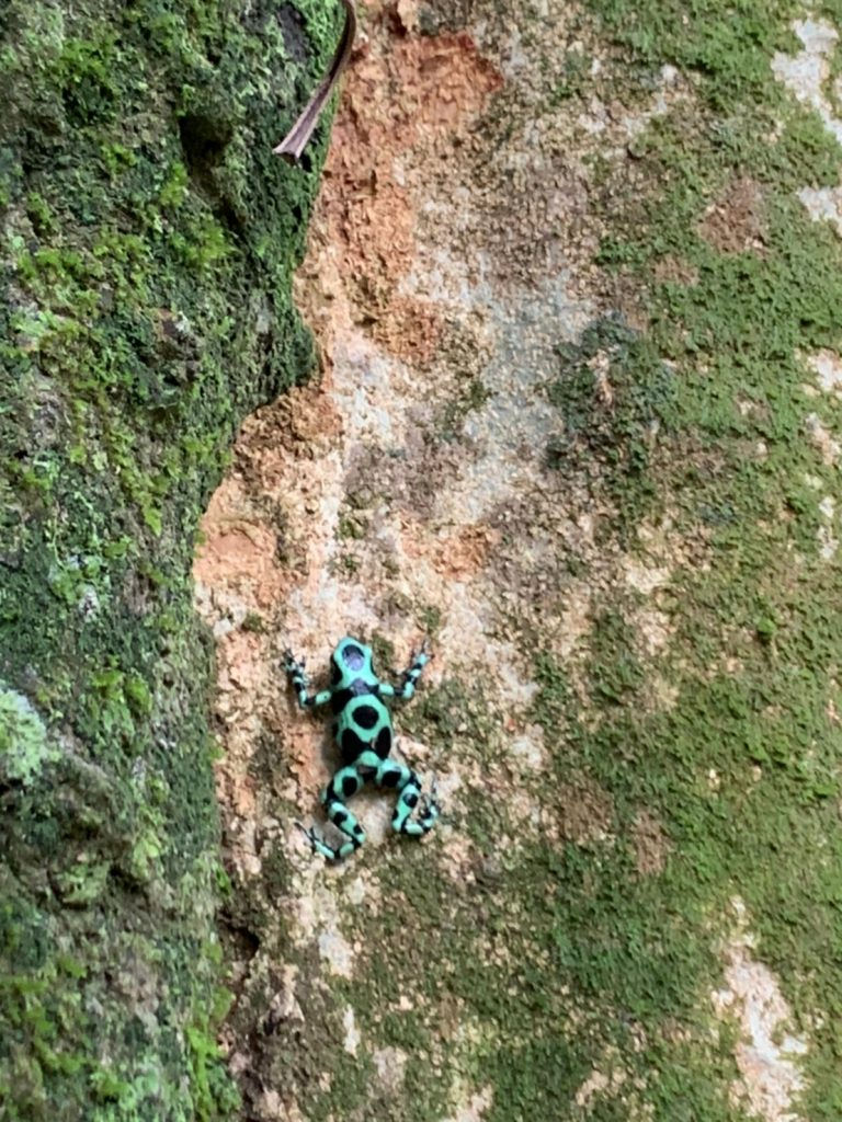 The green-and-black poison dart frog, also known as the green-and-black poison arrow frog and green poison frog