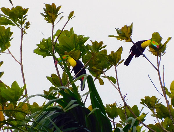 4 Toucans are members of the Neotropical near passerine bird family Ramphastidae.