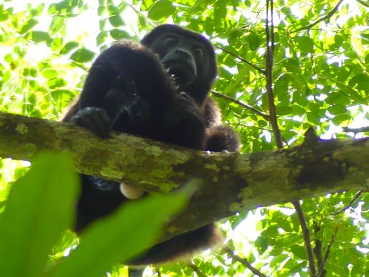 Male Howler Monkey has big white balls