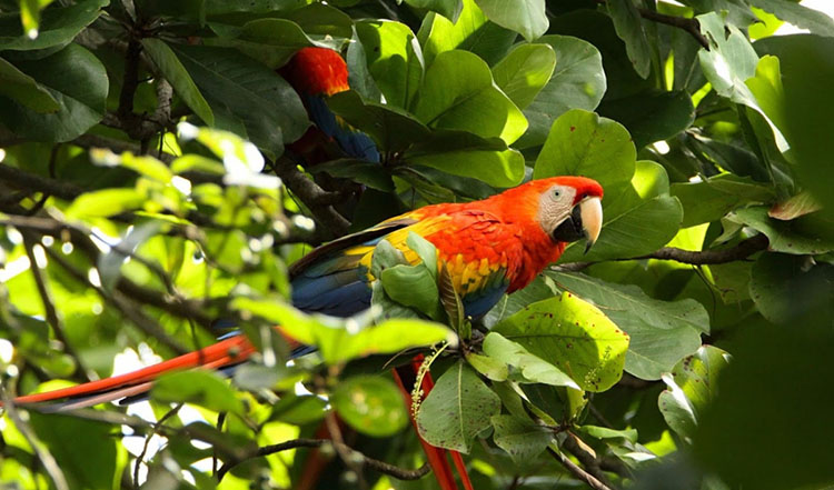 Macaws are king-sized members of the parrot family