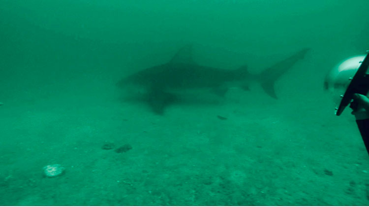 Maison de Sante is diving with sharks