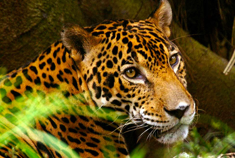 Panthera's Jaguar Corridor Initiati