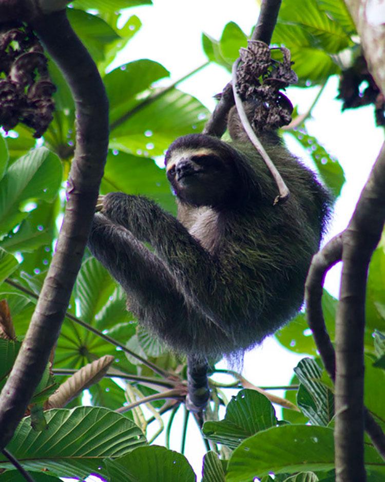 SLOTH SY ORION IN BOCAS DEL TORO, PANAMA
